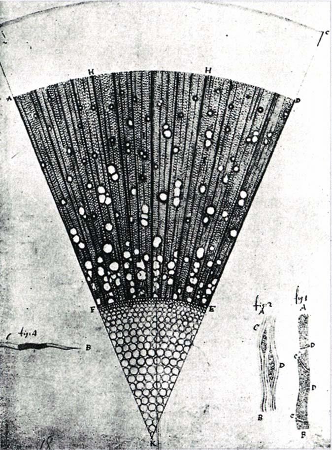 トネリコ属の木質部 1676年